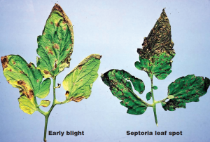 Early Blight & Septoria Leaf Spot