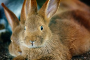 brown-rabbit