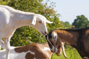 goats-1426533308xb4
