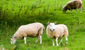 sheep-1363171681CLz