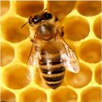 honey-bee_opt